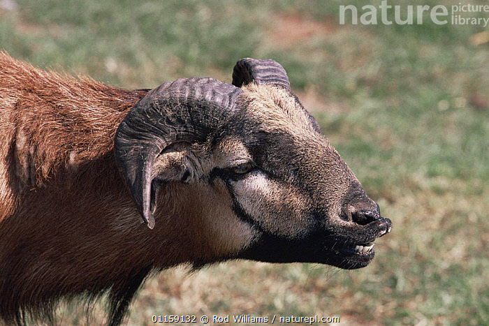 Cameroon sheep {Ovis aries domesticus} juvenile male with flehmen response, captive, from West Africa  ,  ARTIODACTYLA,LIVESTOCK,MALES,MAMMALS,MATING BEHAVIOUR,SHEEP,VERTEBRATES,WEST AFRICA,Africa,Reproduction,Goats,Antelopes,WEST-AFRICA  ,  Rod Williams