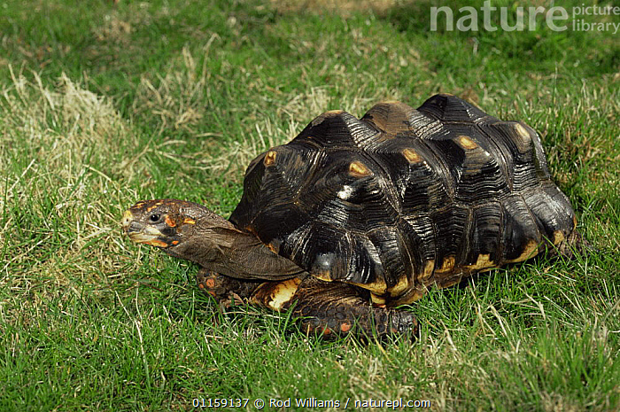 Red footed tortoise {Geochelone carbonaria} captive, from South America  ,  CHELONIA,REPTILES,SOUTH AMERICA,TORTOISES,VERTEBRATES, Tortoises  ,  Rod Williams