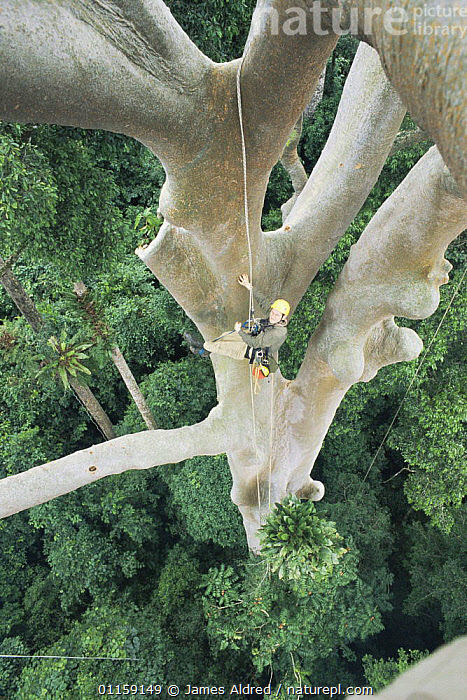 Looking down from rainforest canopy on scientist climbing a giant Mengaris tree {Koompassia excelsa} Danum valley, Sabah, Borneo, Malaysia, 2002  ,  ASIA,PEOPLE,RESEARCH,SIZE,SOUTH EAST ASIA,TALL,TREES,TROPICAL RAINFOREST,VERTICAL,Plants,SOUTH-EAST-ASIA  ,  James Aldred