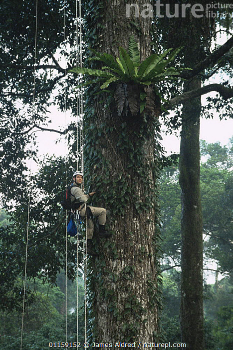 Canopy scientist, John Pike, being winched up to study epiphytic Birds nest fern {Asplenius sp} growing in lowland Dipterocarp tree {Shorea shorea} Danum valley, Sabah, Borneo, Malaysia, 2005  ,  ASIA,EPIPHYTES,PEOPLE,RESEARCH,SIZE,SOUTH EAST ASIA,TALL,TREES,TROPICAL RAINFOREST,VERTICAL,Plants,SOUTH-EAST-ASIA  ,  James Aldred