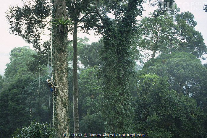 Canopy scientist, John Pike, being winched up to study epiphytic Birds nest fern {Asplenius sp} growing in lowland Dipterocarp tree {Shorea shorea} Danum valley, Sabah, Borneo, Malaysia, 2005  ,  ASIA,EPIPHYTES,HABITAT,PEOPLE,RESEARCH,SIZE,SOUTH EAST ASIA,TALL,TREES,TROPICAL RAINFOREST,Plants,SOUTH-EAST-ASIA  ,  James Aldred