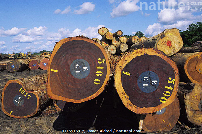 Logged rainforest timber from Okoume trees {Aucoumea klaineana Pierre} logs awaiting collection by train at Lope Reserve NP, Gabon, 2004  ,  AFRICA,CENTRAL AFRICA,DEFORESTATION,TREES,TROPICAL RAINFOREST,Plants,WEST-AFRICA  ,  James Aldred