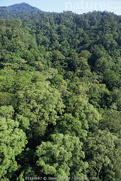 Aerial view of canopy of primary lowland Dipterocarp rainforest, Imbak Canyon Reserve, Sabah, Borneo, Malaysia, 2005  ,  ASIA,HABITAT,LANDSCAPES,SOUTH EAST ASIA,TREES,TROPICAL RAINFOREST,VERTICAL,Plants,SOUTH-EAST-ASIA  ,  James Aldred