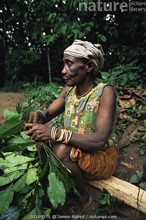 By'Aka pygmy woman collecting medicinal plants from the rainforest, Ndoki-Nouabale NP, Congo Rep. 2003  ,  AFRICA,CENTRAL AFRICA,CENTRAL AFRICA,LEAVES,MEDICINE,PEOPLE,RESERVE,TRADITIONAL,TRIBES,TROPICAL RAINFOREST,VERTICAL  ,  James Aldred