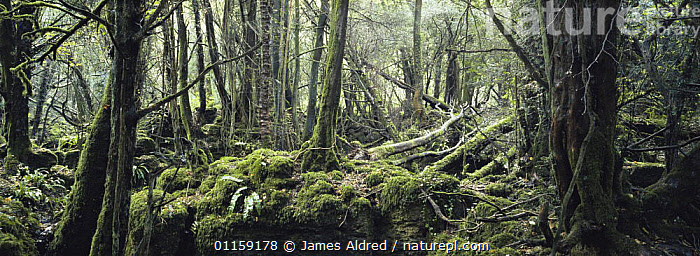 Deciduous woodland growing over ruins of pre-roman iron ore mine, Puzzle Wood, Forest of Dean, Gloucestershire, UK 2006  ,  BROADLEAF,COLONISATION,EUROPE,MINING,MOSS,PANORAMIC,UK,WOODLANDS,United Kingdom,British,ENGLAND  ,  James Aldred