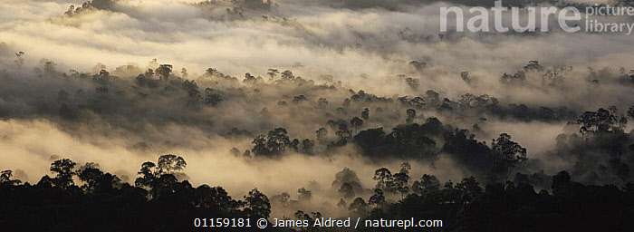 Early morning mist over canopy of lowland primary Dipterocarp rainforest, Danum valley, Sabah, Borneo, Malaysia, 2006  ,  ASIA,CLOUDS,DAWN,LANDSCAPES,PANORAMIC,SOUTH EAST ASIA,SUNRISE,TREES,TROPICAL RAINFOREST,Weather,Plants,SOUTH-EAST-ASIA  ,  James Aldred