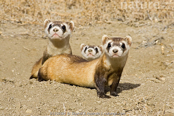 Black-footed ferrets {Mustela nigripes} family group being prepared for release. Captive breeding programme, Colorado, USA  ,  CARNIVORES,ENDANGERED,FERRET,GROUPS,MAMMALS,MUSTELIDS,NORTH AMERICA,REINTRODUCTION,THREE,USA,VERTEBRATES,WEASELS  ,  Shattil & Rozinski