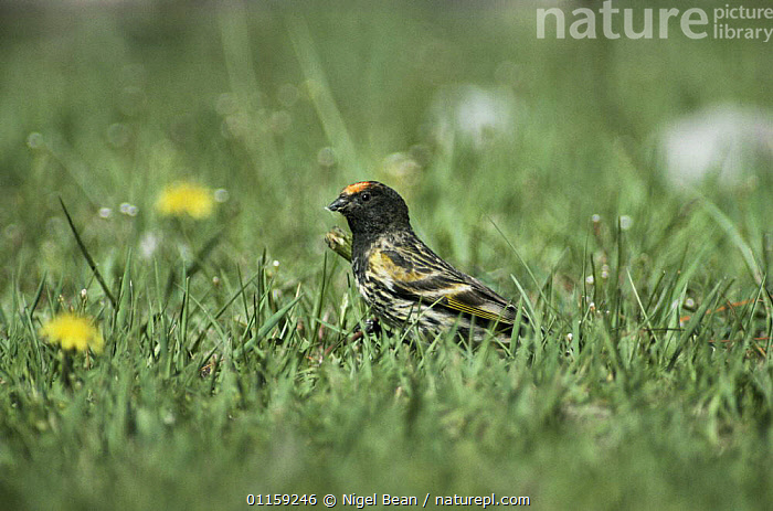 Red fronted serin {Serinus pusillus} Naltar valley, Pakistan 1994  ,  ASIA,BIRDS,FINCHES,INDIAN SUBCONTINENT,VERTEBRATES  ,  Nigel Bean