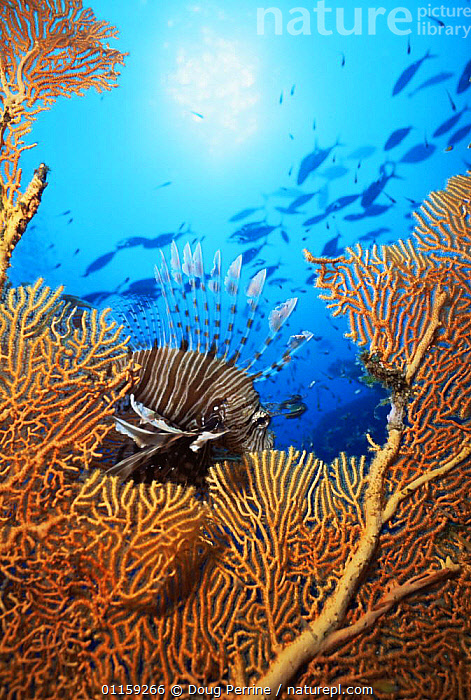 Lionfish {Pterois miles} with Seafan in foreground, Thailand  ,  coral reefs, FISH, INDO-PACIFIC, LIONFISH, MARINE, ORANGE, OSTEICHTHYES, TROPICAL, UNDERWATER, VERTEBRATES, VERTICAL,SOUTH-EAST-ASIA,Asia  ,  Doug Perrine