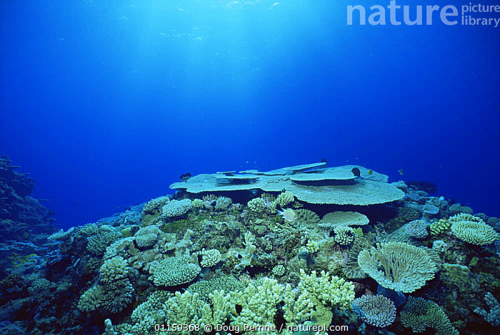 Hard corals on top of 'bommy', Flinders sea, Coral sea, Australia  ,  CORAL REEFS,CORAL REEFS,INVERTEBRATES,LANDSCAPES,TROPICAL,UNDERWATER,Marine,Anthozoans, Cnidaria  ,  Doug Perrine