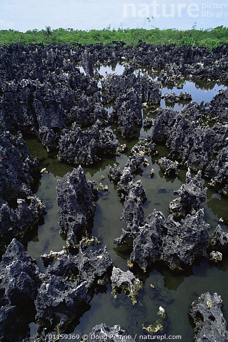 Jagged black limestone formations, 'Hell', Grand Cayman, Cayman Islands, Caribbean,  ,  CARIBBEAN,GEOLOGY,LANDSCAPES,ROCK FORMATIONS,TROPICAL,VERTICAL,WEST INDIES  ,  Doug Perrine