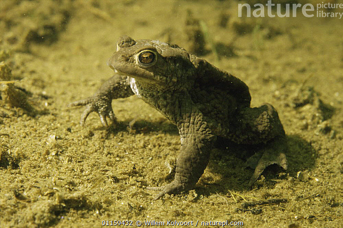 Common European toad (Bufo bufo) resting on floor of sand winning pit during mating season, Holland  ,  AMPHIBIANS,ANURA,AQUATIC,EUROPE,FRESHWATER,HOLLAND,MATING BEHAVIOUR,PONDS,PORTRAITS,TOADS,UNDERWATER,VERTEBRATES,Reproduction  ,  Willem Kolvoort