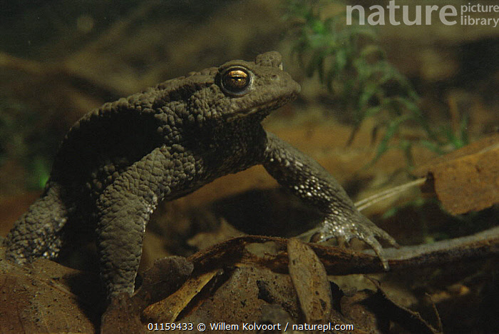 Common European toad (Bufo bufo) resting on floor of sand winning pit during mating season, Holland  ,  AMPHIBIANS,ANURA,AQUATIC,EUROPE,FRESHWATER,HOLLAND,MATING BEHAVIOUR,PONDS,TOADS,UNDERWATER,VERTEBRATES,Reproduction  ,  Willem Kolvoort