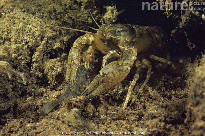 Spinycheek / American freshwater crayfish (Orconectes limosus) in sand winning pit, Holland. This species is widely spread over the Dutch waters and drives away the nearly extinct Noble crayfish (Astacus astacus) which has lower resistance against crayfish-pests.  ,  AQUATIC,CRAYFISH,CRUSTACEANS,EUROPE,FRESHWATER,HOLLAND,INTRODUCTION,INVERTEBRATES,NETHERLNADS,UNDERWATER  ,  Willem Kolvoort