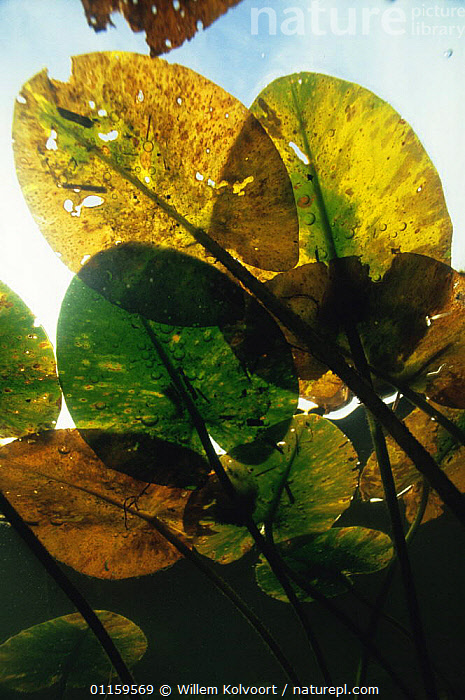 Underwater view of autumnal Yellow water lily leaves (Nuphar lutea) leaf miners have eaten part of leaves, Lake Naarden, Holland  ,  AQUATIC,AUTUMN,DICOTYLEDONS,EUROPE,FRESHWATER,HOLES,HOLLAND,LEAVES,LOTUS,NETHERLANDS,NYMPHAEACEAE,PATTERNS,PLANTS,SURFACE,UNDERWATER,VERTICAL,WATER,WATER LILIES,WETLANDS  ,  Willem Kolvoort