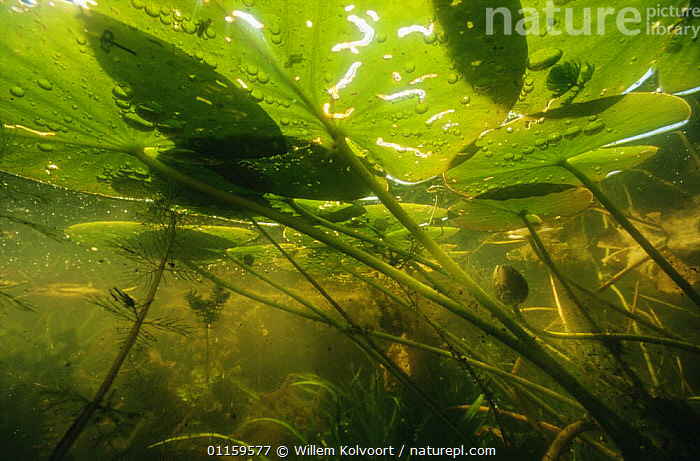 Underwater view of White water lily leaves (Nymphaea alba) in garden pond, Holland  ,  AQUATIC,BUDS,DICOTYLEDONS,EUROPE,FRESHWATER,HOLLAND,LEAVES,LOTUS,NETHERLANDS,NYMPHAEACEAE,PLANTS,STEMS,UNDERWATER,WATER LILIES  ,  Willem Kolvoort