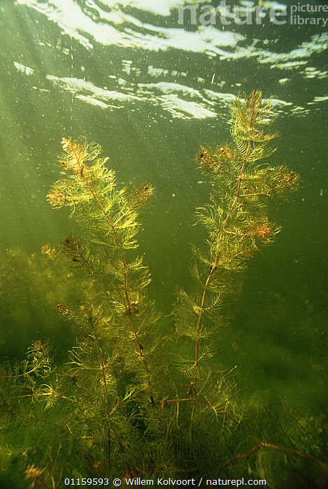 Underwater view of Spikes water milfoil (Myriophyllum spicatum) Lake Naarden, Holland  ,  AQUATIC,DICOTYLEDONS,EUROPE,FRESHWATER,GUNNERACEAE,HOLLAND,LAKES,NETHERLANDS,PLANTS,UNDERWATER,VERTICAL,WATER  ,  Willem Kolvoort