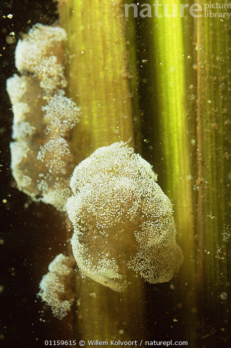 Stalked peritrichs (Vorticella) sitting on Greater bulrush (Typha latifolia), Lake Naarden, Holland  ,  AQUATIC,EUROPE,FRESHWATER,HOLLAND,MIXED SPECIES,MONOCOTYLEDONS,NETHERLANDS,PLANTS,TYPHACEAE,UNDERWATER,VERTICAL  ,  Willem Kolvoort