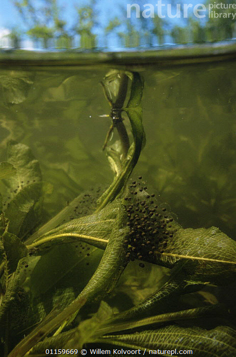European edible frog eggs (Rana esculenta) just below pond surface, wrapped around aquatic plants, Holland  ,  AMPHIBIANS, Anura, AQUATIC, EGGS, EUROPE, FRESHWATER, FROGS, FROGSPAWN, HOLLAND, LEAVES, netherlands, PLANTS, PONDS, REPRODUCTION, spawn, SURFACE, VERTEBRATES, VERTICAL  ,  Willem Kolvoort