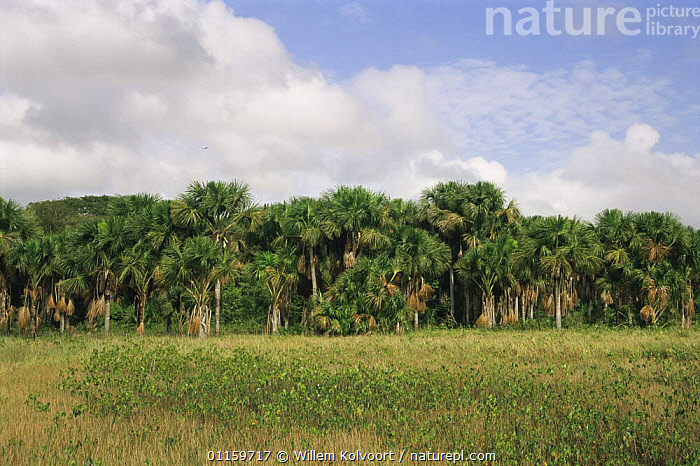 Wet clay savanna with Mokomoko swamp (Montrichardia arborescens) and Mauritius palm trees (Mauritia flexuosa) in background, North Suriname . 2003.  ,  BOGS,CENTRAL AMERICA,GRASSLANDS,HABITAT,LANDSCAPES,MIXED SPECIES,PLANTS,SOUTH AMERICA,SURINAM,SWAMPS,TREES,TROPICAL,WETLANDS  ,  Willem Kolvoort