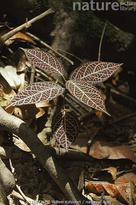 Possibly (Rubiaceae) leaves growing in tropical rainforest, Central Suriname Nature Reserve, Suriname . 2003.  ,  CENTRAL AMERICA,LEAVES,PLANTS,ROOTS,SOUTH AMERICA,SURINAM,TROPICAL,TROPICAL RAINFOREST,VERTICAL  ,  Willem Kolvoort