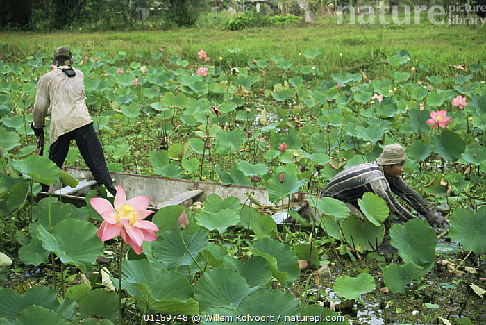 Man harvesting Red lily lotus flowers (Nelumbo nucifera) Lotus Nursery, North Suriname . 2003.  ,  AQUATIC,BOATS,CANOES,CENTRAL AMERICA,DICOTYLEDONS,FLOWERING,FLOWERS,HARVESTING,LOTUS,NYMPHAEACEAE,PEOPLE,PLANTS,SURINAM,TRADE,TROPICAL,WATER LILIES,WORKING,OPEN-BOATS, BOATS,SOUTH-AMERICA, BOATS  ,  Willem Kolvoort