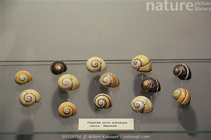 Shells of the Land snail {Polymita picta} showing colour variation, endemic to the far East of Cuba near Baracoa, Museum of Holguin, Cuba