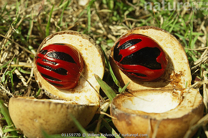 Wild Nutmeg fruit (Myristica fragrans) the dark Nutmeg is surrounded by Mace; Ambon, Indonesia  ,  DICOTYLEDONS,EXPORT,FRUIT,FRUITS,INDONESIA,MYRISTICACEAE,PLANTS,SEEDS,SOUTH EAST ASIA,TRADE,TROPICAL,Asia  ,  Willem Kolvoort
