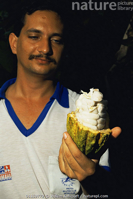 Cuban man holding open Cocoa fruit (Theobroma cacao) exposing white beans, which are fermentated and dried to get the good cocoa, Cuba 1993.  ,  CARIBBEAN,CROPS,CUBAN,DICOTYLEDONS,EXPORT,FRUIT,MALES,PEOPLE,PLANTS,SEEDS,STERCULIACEAE,TRADE,TROPICAL,VERTICAL,WEST INDIES  ,  Willem Kolvoort