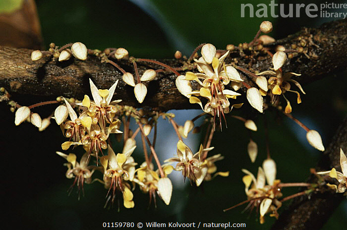 Cocoa plant in flower (Theobroma cacao) Cuba 1993.  ,  CARIBBEAN,CROPS,DICOTYLEDONS,FLOWERING,FLOWERS,PLANTS,STERCULIACEAE,TREES,TROPICAL,WEST INDIES  ,  Willem Kolvoort