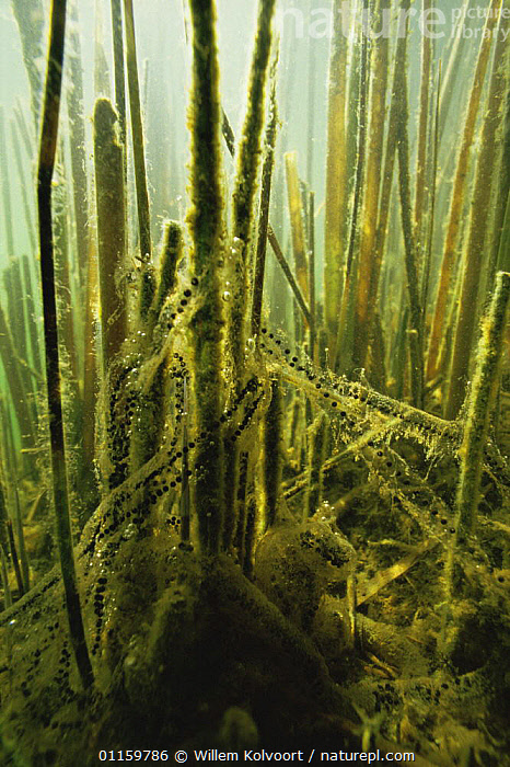Egg strings of Common european toad (Bufo bufo) strung along aquatic plants for good oxygen exchange, sand winning pit, Holland  ,  AMPHIBIANS,ANURA,AQUATIC,EGGS,EUROPE,FRESHWATER,HOLLAND,NETHERLANDS,PLANTS,REPRODUCTION,TOADS,UNDERWATER,VERTEBRATES,VERTICAL  ,  Willem Kolvoort
