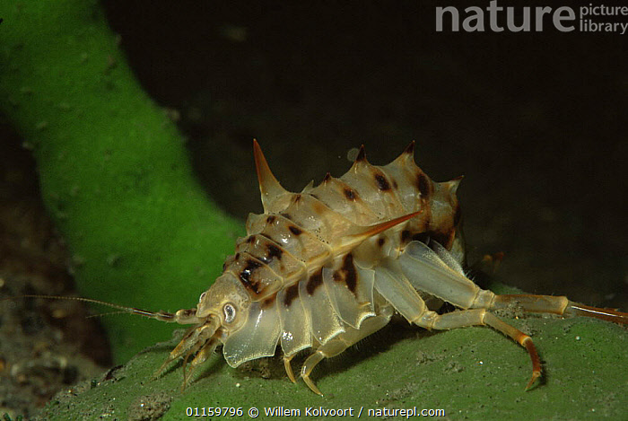 Gammarid isopod {Acanthogammarus victorii) endemic to Lake Baikal, Russia  ,  AMPHIPODS,CRUSTACEANS,FRESHWATER,GAMMARIDS,INVERTEBRATES,RUSSIA,SIBERIA,TEMPERATE,UNDERWATER,WEIRD  ,  Willem Kolvoort