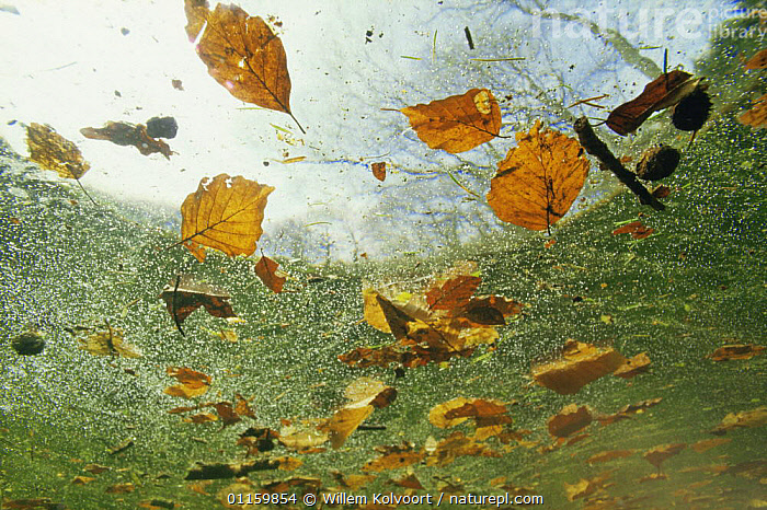 Autumn leaves floating on surface of brook, Holland  ,  ABSTRACT,ARTY SHOTS,AUTUMN,BROOKS,EUROPE,FRESHWATER,HOLLAND,LEAVES,NETHERLANDS,RIVERS,STREAMS,SURFACE,TREES,UNDERWATER,Plants  ,  Willem Kolvoort
