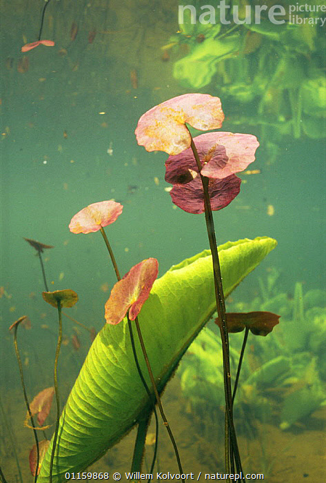 Underwater view of Fringed water lily (Nymphoides peltata) colour of leaves in spring is red, Lake Naarden, Holland  ,  AQUATIC,DICOTYLEDONS,EUROPE,FRESHWATER,HOLLAND,LEAVES,MENYANTHACEAE,NETHERLANDS,PLANTS,SPRING,UNDERWATER,VERTICAL  ,  Willem Kolvoort