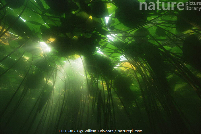 Sunlight filtering through leaves of Yellow water lily (Nuphar lutea) lake in central Holland  ,  AQUATIC,DICOTYLEDONS,EUROPE,FRESHWATER,HOLLAND,LEAVES,LOTUS,NETHERLANDS,NYMPHAEACEAE,PLANTS,SUNLIGHT,SURFACE,UNDERWATER,WATER LILIES  ,  Willem Kolvoort