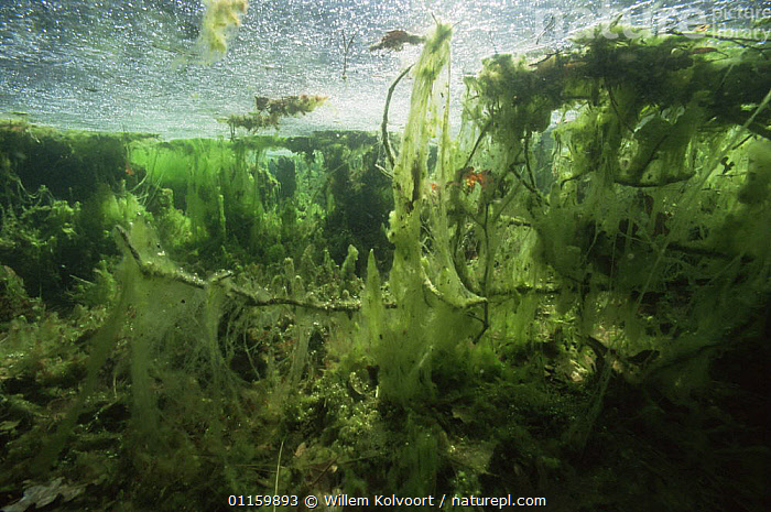 Underwater (Algae) meadow, little peatbog lake, Holland.  The Algae produce oxygen but the bubbles cannot escape from the hairy mass of the algae and pull the algae bed upwards, causing the strange algae formations.  ,  ALGAE,AQUATIC,EUROPE,FRESHWATER,HOLLAND,INTERESTING,LAKES,NETHERLANDS,PLANTS,PONDS,UNDERWATER  ,  Willem Kolvoort