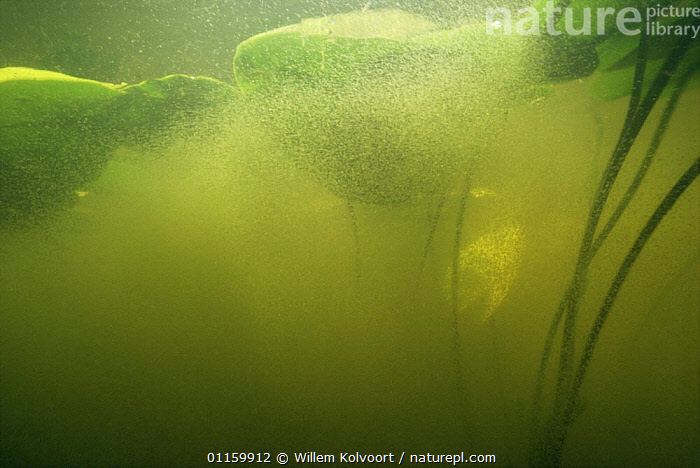 Underwater mass of Water fleas (Daphnia sp) under Yellow water lily leaves (Nuphar lutea) lake in central Holland  ,  AQUATIC,ARTHROPODS,CRUSTACEANS,EUROPE,FRESHWATER,GROUPS,HOLLAND,INVERTEBRATES,LAKES,LEAVES,MASS,NETHERLANDS,PLANTS,PONDS,UNDERWATER,WATER FLEAS,Fleas  ,  Willem Kolvoort