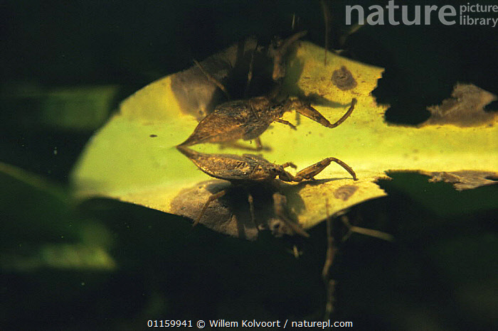 Water scorpion (Nepa cinerea) reflected on water surface of garden pond, Holland  ,  AQUATIC,BUGS,EUROPE,FRESHWATER,HEMIPTERA,HOLLAND,INSECTS,INVERTEBRATES,NETHERLANDS,PONDS,REFLECTIONS,UNDERWATER,WATER SCORPIONS  ,  Willem Kolvoort