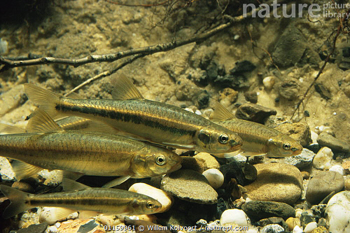 Minnow (Phoxinus phoxinus) in aquarium, Holland  ,  AQUATIC,CARPS,EUROPE,FISH,FRESHWATER,GROUPS,HOLLAND,NETHERLANDS,OSTEICHTHYES,SHOALS,VERTEBRATES  ,  Willem Kolvoort