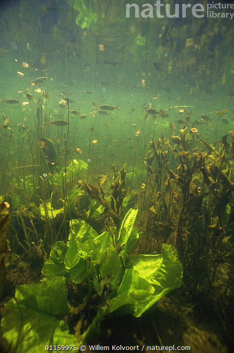 Shoals of Rudd (Scardinius erythrophthalmus) and young Yellow waterlily leaves (Nuphar lutea), Lake Naarden, Holland  ,  AQUATIC,CARPS,EUROPE,FISH,FRESHWATER,GROUPS,HABITAT,HOLLAND,LEAVES,NETHERLANDS,OSTEICHTHYES,PLANTS,SHOALS,UNDERWATER,VERTEBRATES,VERTICAL,WATERLILIES,YOUNG  ,  Willem Kolvoort