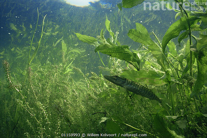 Young Pike (Esox lucius) stripes on skin provide good camouflage against Canadian waterweed (Elodea canadensis) sand winning pit, Holland  ,  AQUATIC,EUROPE,FISH,FRESHWATER,HOLLAND,IMMATURE,JUVENILE,LEAVES,NETHERLANDS,OSTEICHTHYES,PIKE,PLANTS,PONDS,PONDWEED,SURFACE,VERTEBRATES,YOUNG  ,  Willem Kolvoort
