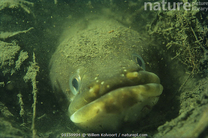 Face portrait of European eel (Anguilla anguilla) sand winning pit, Holland  ,  AQUATIC,EELS,EUROPE,FACES,FISH,FRESHWATER,HEADS,HOLLAND,MOUTHS,NETHERLANDS,OSTEICHTHYES,PORTRAITS,UNDERWATER,VERTEBRATES  ,  Willem Kolvoort