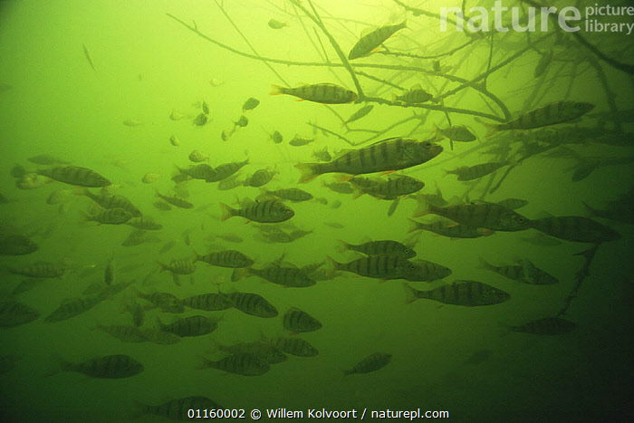 Shoal of Perch (Perca fluviatilis) in sand winning pit, Holland  ,  AQUATIC,EUROPE,FISH,FRESHWATER,GROUPS,HOLLAND,LAKES,MASS,NETHERLANDS,OSTEICHTHYES,PERCH,PONDS,SCHOOLING,SCHOOLS,SHOALING,SHOALS,UNDERWATER,VERTEBRATES  ,  Willem Kolvoort