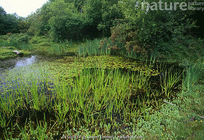 Marsh Saint John's Wort (Hypericum elodes) with rushes in a pond, New Forest, Hampshire, UK.  ,  DICOTYLEDONS,EUROPE,FRESHWATER,GREEN,HYPERICACEAE,LANDSCAPES,PLANTS,PONDS,UK,VARIETY,WATER,United Kingdom,British  ,  Simon Colmer