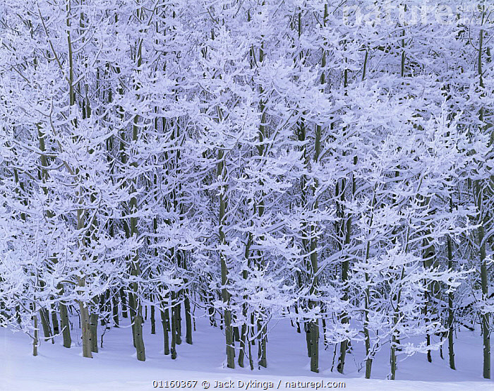Nature Picture Library Quaking Aspen Trees Populus Tremuloides Covered In Snow And Ice In Winter Boulder Mountain Aquarius Plateau Dixie National Forest Utah Usa Jack Dykinga