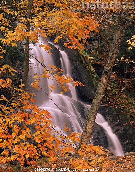 Red maple {Acer rubrum} trees in autumn beside Moss Glen Falls, Green Mountain National Forest, Vermont, USA  ,  BROADLEAF,NORTH AMERICA,RESERVE,RIVERS,USA,VERTICAL,WATERFALLS,WOODLANDS  ,  Jack Dykinga