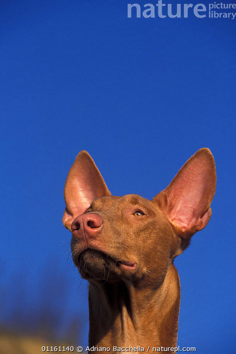 Domestic dog, Pharoah Hound looking up., DOGS,EARS,HEADS,HOUNDS,PETS,VERTEBRATES,VERTICAL,Canids , outdoors, Adriano Bacchella