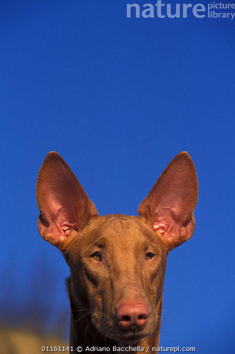 Domestic dog, Pharoah Hound face portrait., DOGS,EARS,FACES,HEADS,HOUNDS,PETS,VERTEBRATES,VERTICAL,Canids , outdoors, Adriano Bacchella