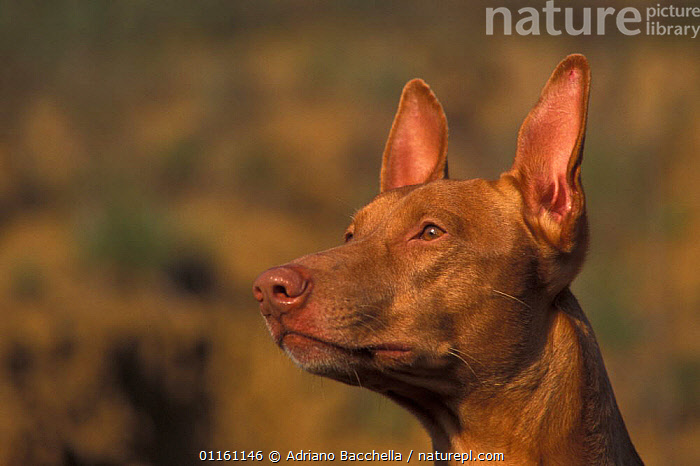 Domestic dog, Pharoah Hound looking up., ATTENTIVE,DOGS,EARS,HEADS,HOUNDS,PETS,VERTEBRATES,Canids , outdoors, Adriano Bacchella