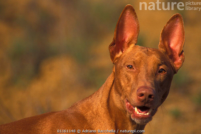 Domestic dog, Pharoah Hound face portrait., DOGS,EARS,FACES,HOUNDS,PETS,PORTRAITS,VERTEBRATES,Canids , outdoors, Adriano Bacchella